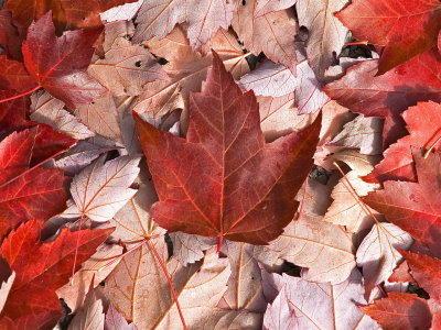Capture d'écran Canadian Trees Screensaver