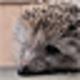 Logo Free Hedgehogs Screensaver