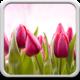 Logo Tulipes Fond D'écran Animé