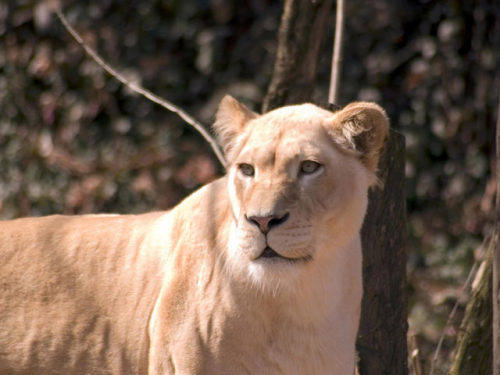 Capture d'écran Free Lions Screensaver