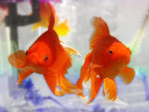 Capture d'écran Free Goldfish Screensaver