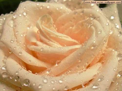 Capture d'écran Fond d'Ecran Fleur 1024